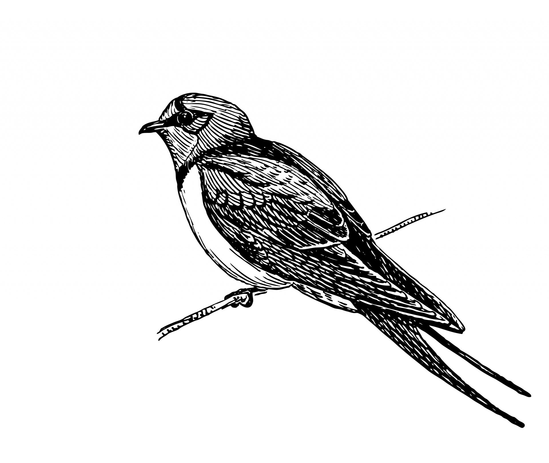 Swallow,bird,animal,clipart,clip art.