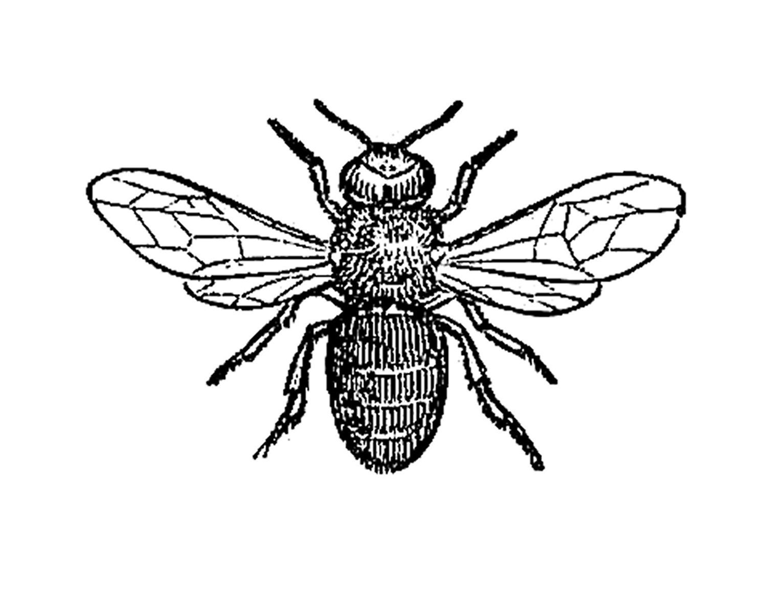 Antique Images: Insect Clip Art: Black and White Illustration of.