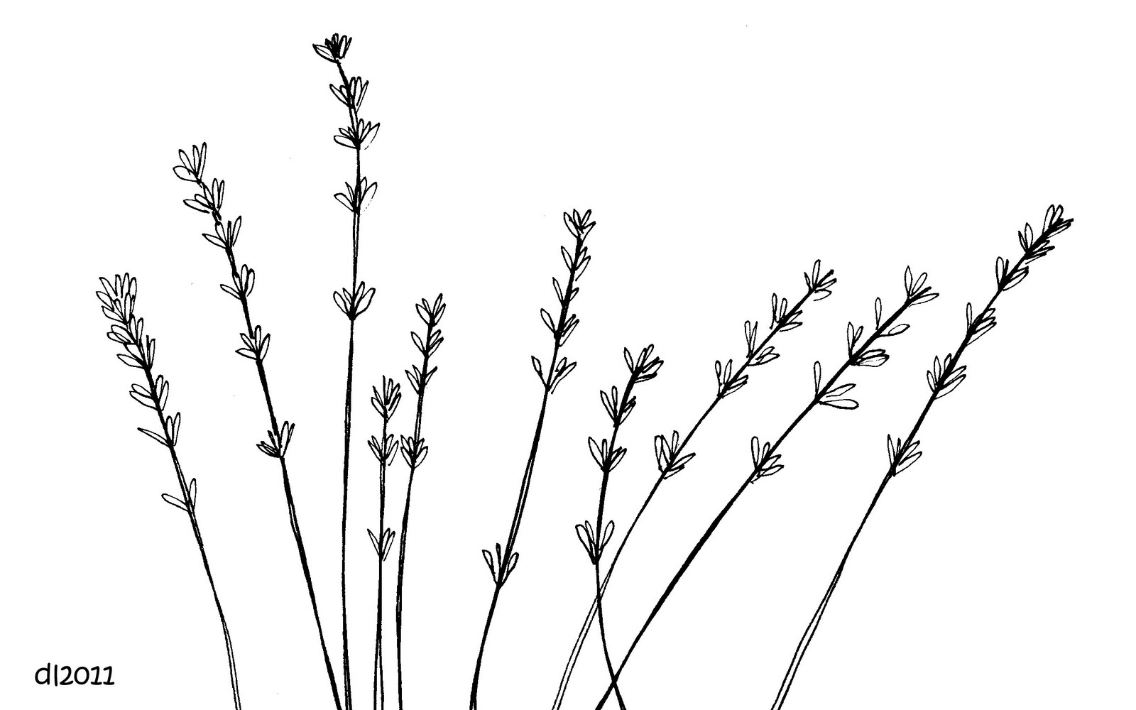 Lavender Clipart Black And White.