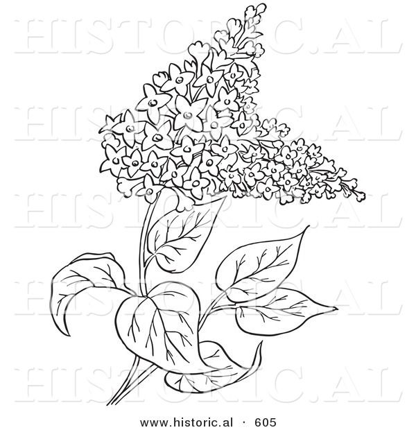 Historical Vector Illustration of Lilac Flowers.