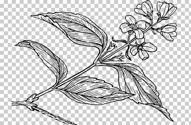 Common lilac Drawing Black and white, biological rosemary.