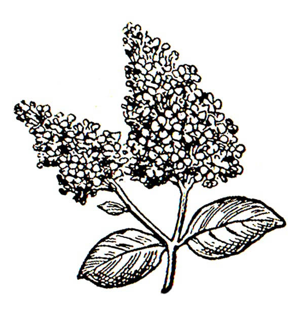 Lilac Flower Coloring Pages.