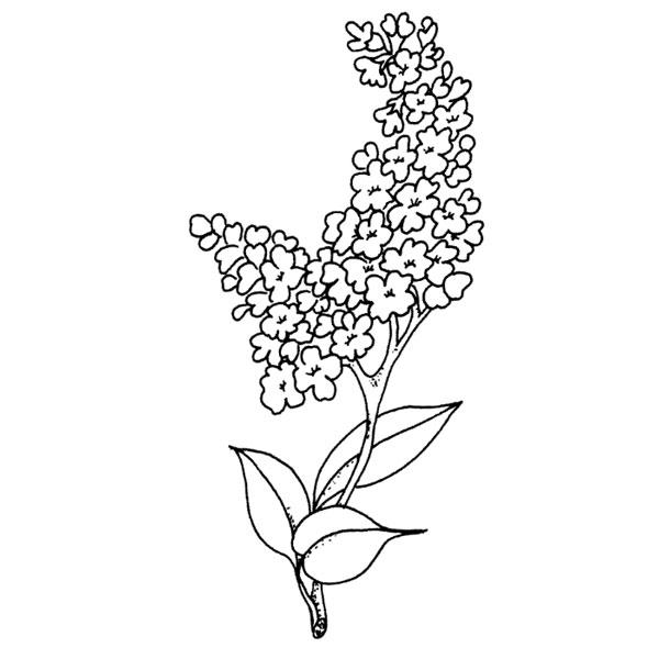 G 256 Lilacs.
