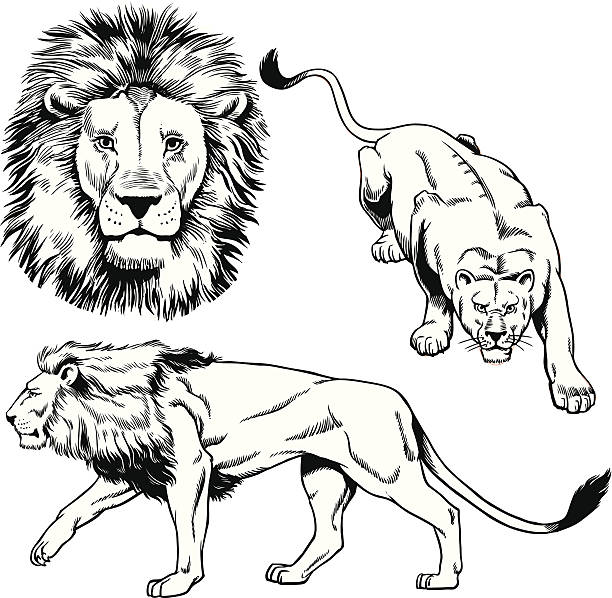Best Black And White Lion Illustrations, Royalty.