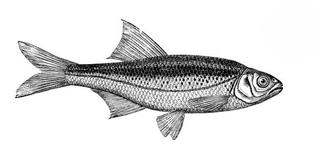 Best Minnow Silhouette Illustrations, Royalty.