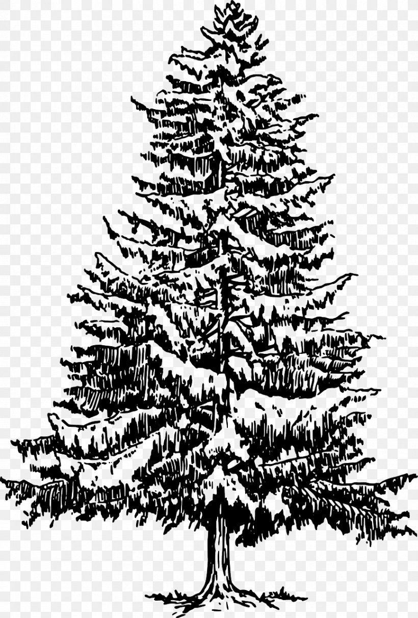 Eastern White Pine Tree Drawing Clip Art, PNG, 866x1280px.