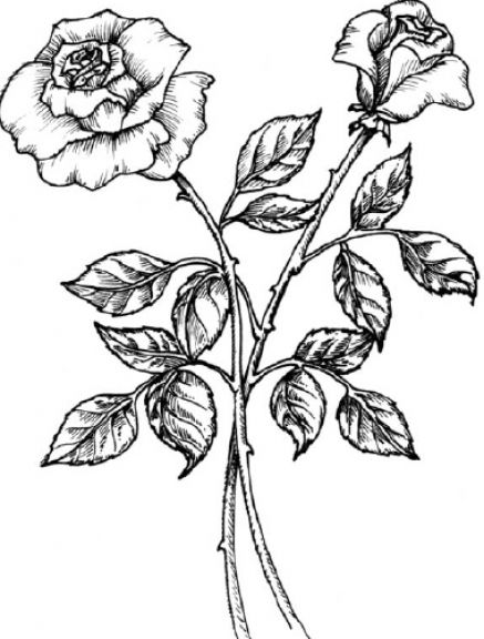 Free Black And White Rose Drawings, Download Free Clip Art, Free.