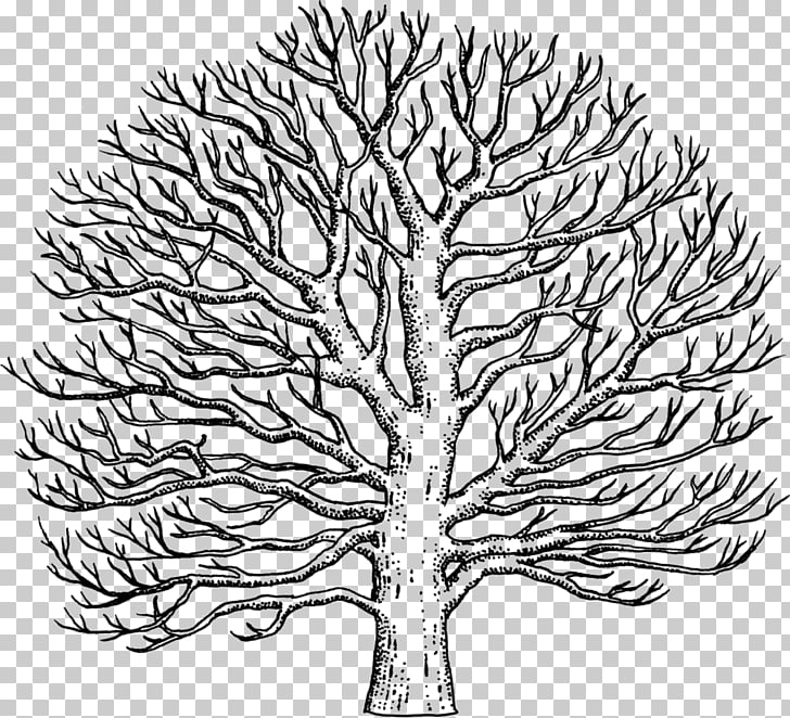 Twig Line art American sycamore Drawing Tree, tree PNG.