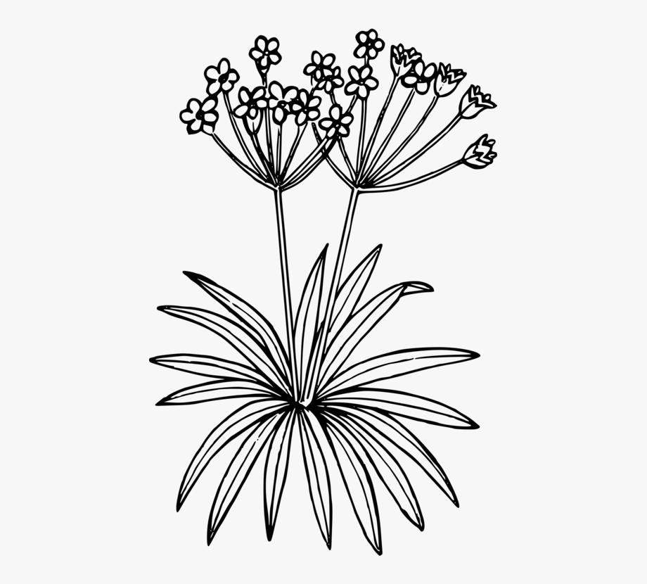Petal Flowering Plant Drawing Flora.
