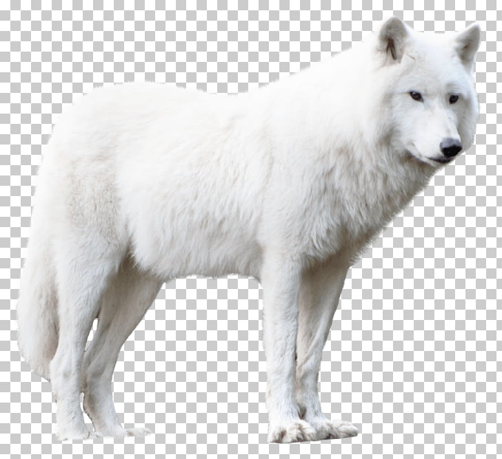 Greenland Dog Alaskan tundra wolf Arctic fox German Pinscher.