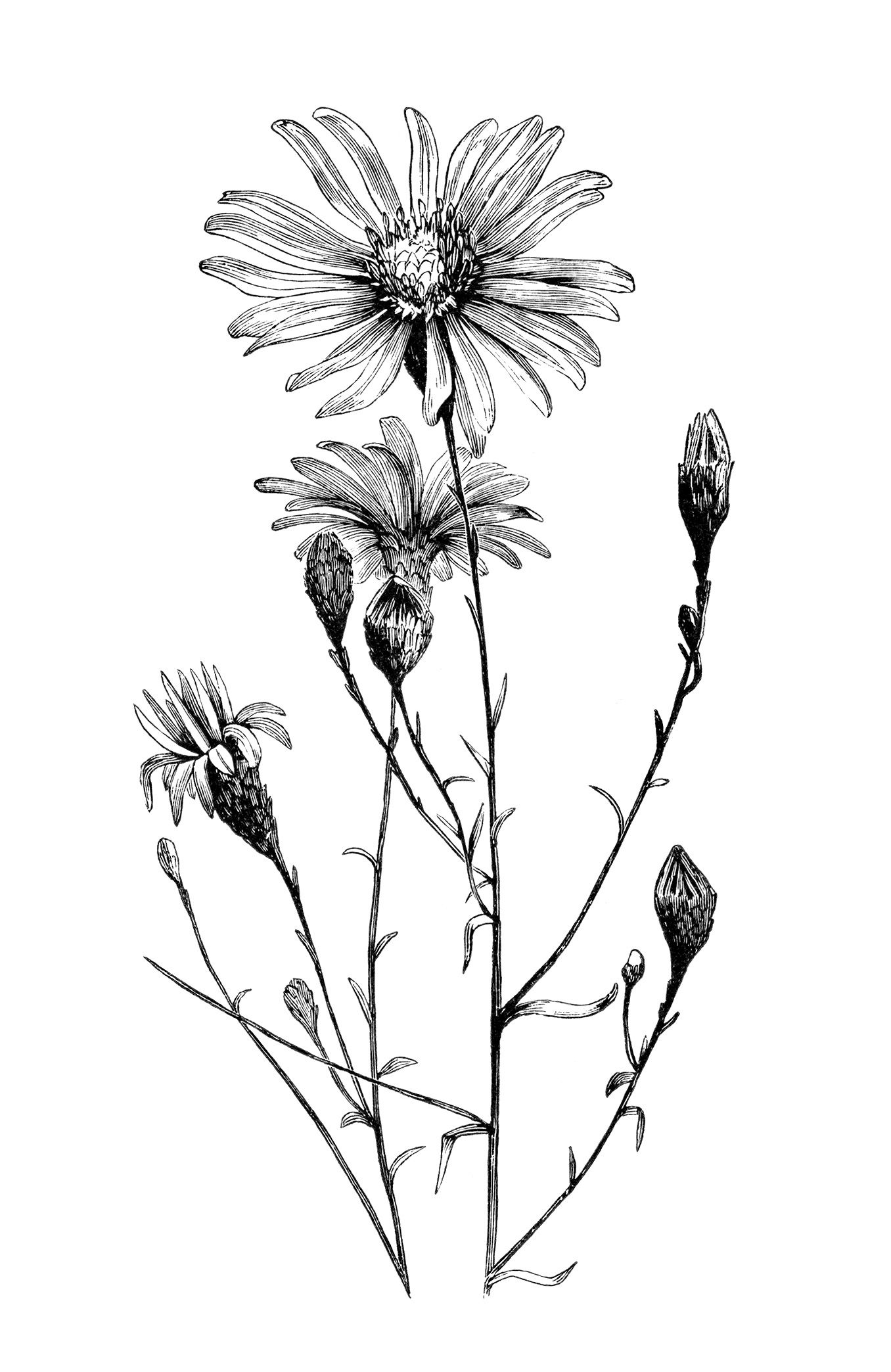 vintage flower clipart, black and white clip art, aster.