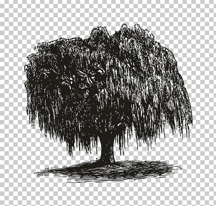 Weeping Willow How To Draw Trees Gift Root PNG, Clipart.