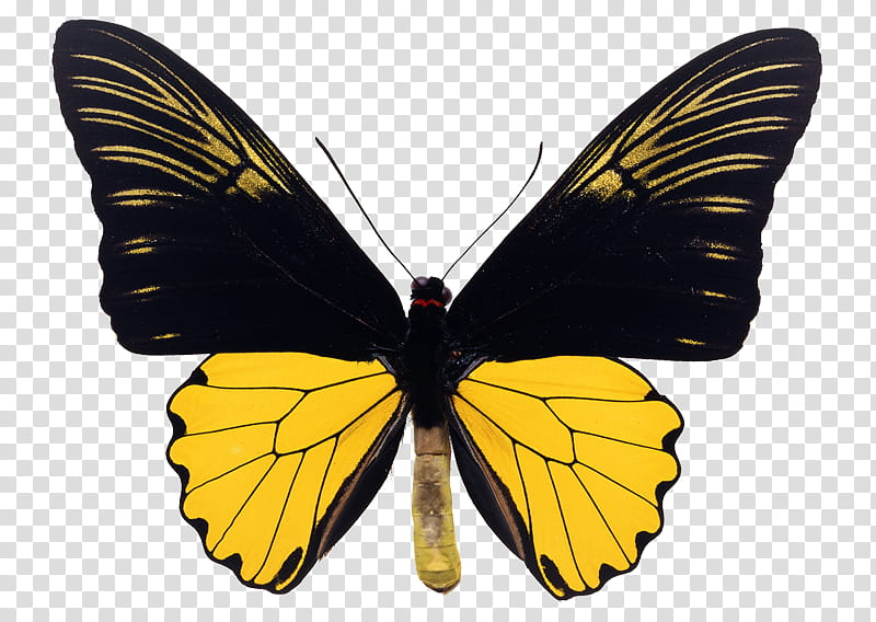 Insect, black and yellow butterfly transparent background.