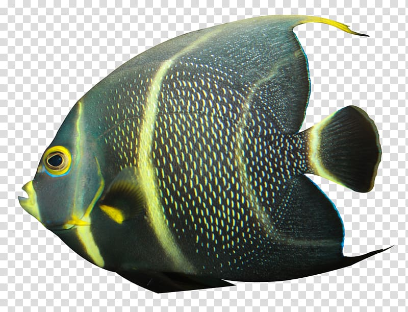 Black and yellow fish , Banded angelfish, Angelfish.