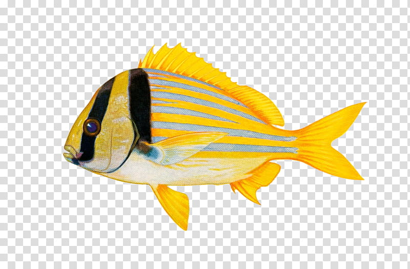 Yellow and black fish transparent background PNG clipart.
