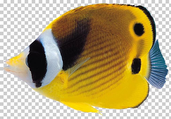 Fish , Fish , yellow and black tang fish PNG clipart.