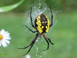 Argiope aurantia (Black and Yellow Garden Spider) Pictures and.