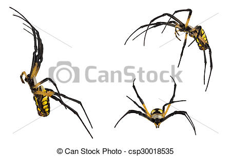 Stock Photos of Black and yellow spider on white..