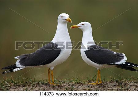 Stock Photo of bird, lesser.