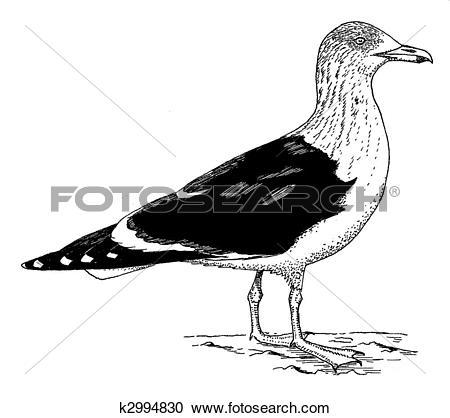 Stock Illustrations of Lesser Black.