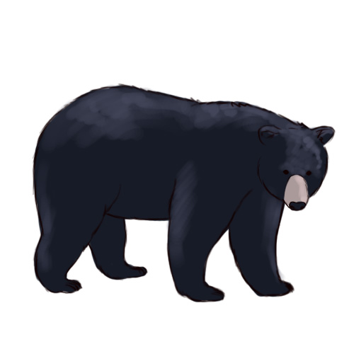 Standing Black Bear Drawing.