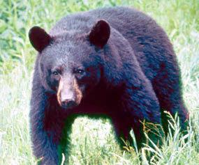 Black Bear Clip Art Download.