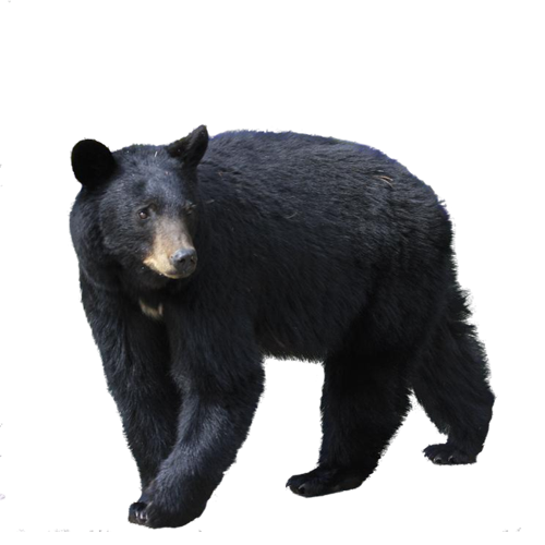 Black Bear PNG Image.