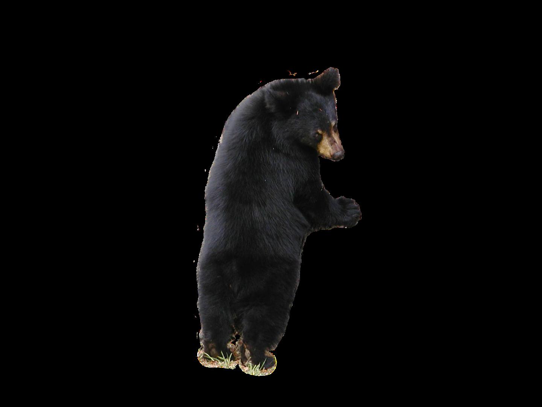 American Black Bear PNG Free Images.