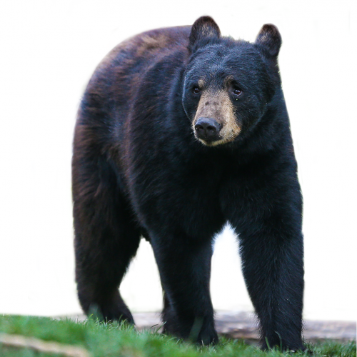 Black Bear Png (105+ images in Collection) Page 1.