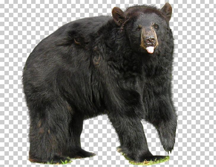 American Black Bear No Bears Big Black Bear PNG, Clipart, Animals.
