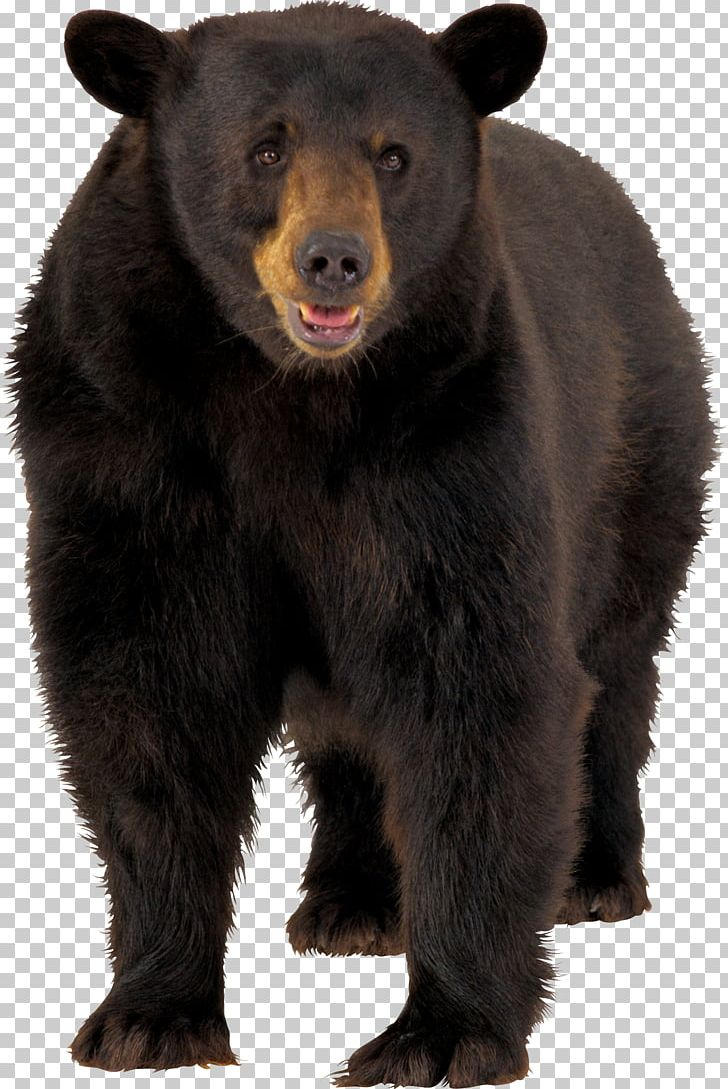 Brown Bear American Black Bear PNG, Clipart, American Black Bear.