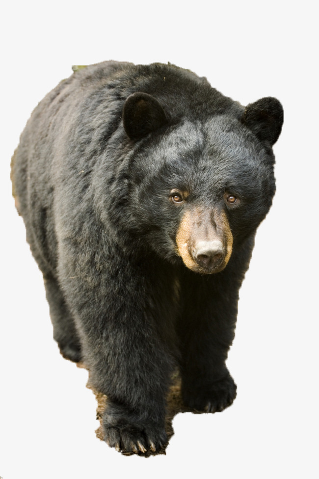 Black Bear Png (105+ images in Collection) Page 2.