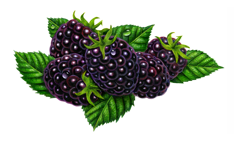 Clipart blackberry fruit.