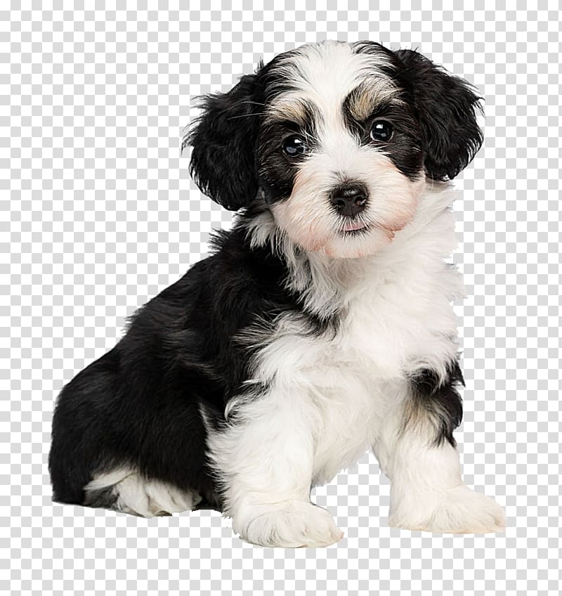 Havanese transparent background PNG cliparts free download.