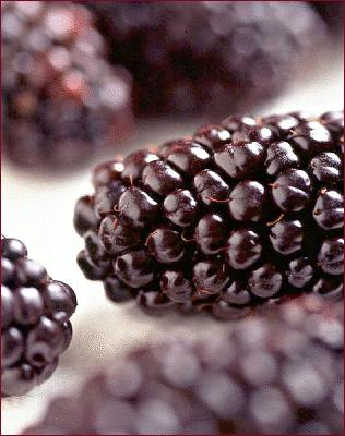 black butte blackberry.