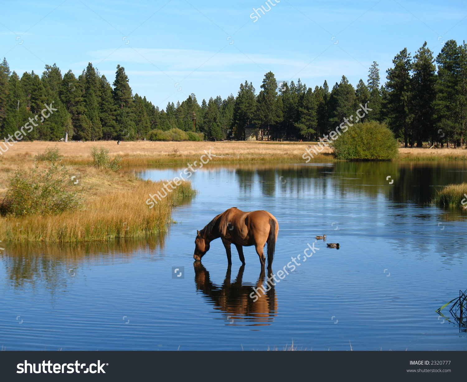 Horse Drinking In A Pond At Black Butte Ranch In Oregon Stock.