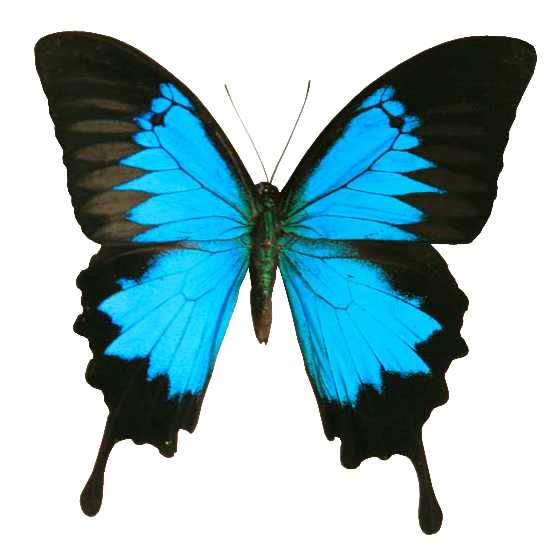 black butterfly with blue clipart clipground
