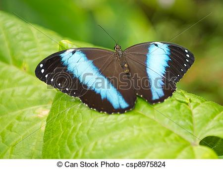 Stock Photo of A Black Butterfly with blue stripe wings.