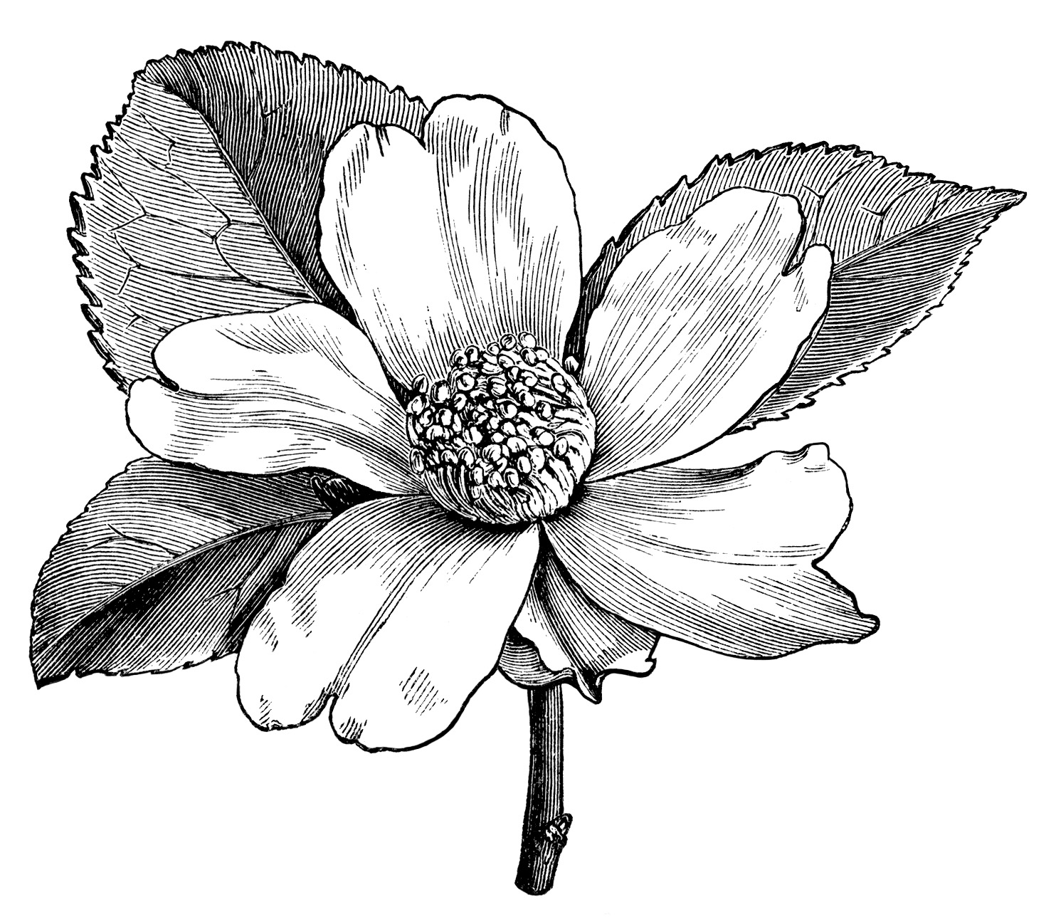 Vintage Flower Clipart Black And White Clipground