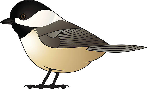 Best Black Capped Chickadee Illustrations, Royalty.