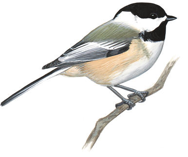 Black Capped Chickadee Drawing at PaintingValley.com.
