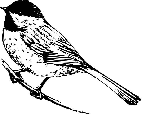 Chickadee, : Realistic Drawing of a Chickadee Coloring Page.