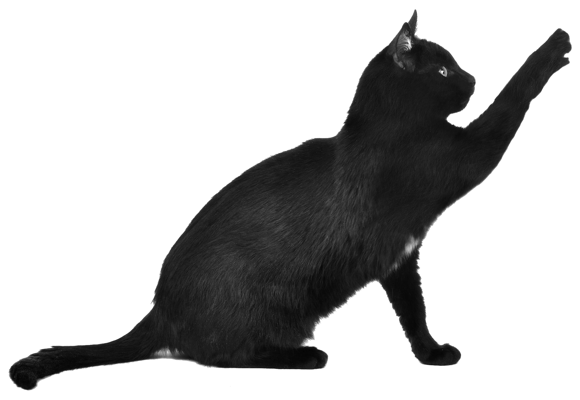 Black Cat Scratching transparent PNG.
