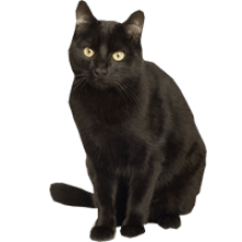 Black Cat Animal image with transparent background.