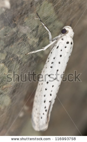 Yponomeutidae Stock Photos, Royalty.