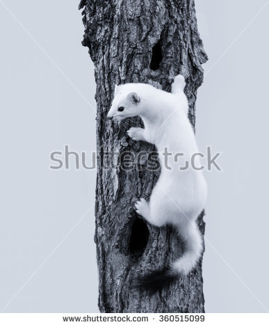 Ermine Stock Photos, Royalty.