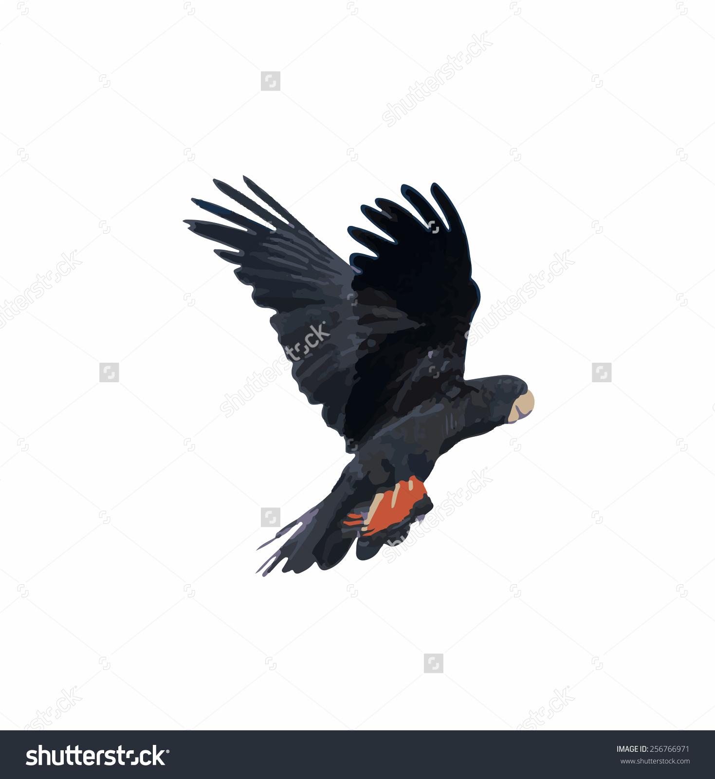 Banks Black Cockatoo Redtailed Cockatoo Flight Stock Illustration.