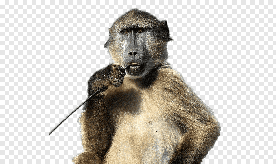 Monkey, Chacma Baboon, King Baboon Spider, Animal, Baboons.