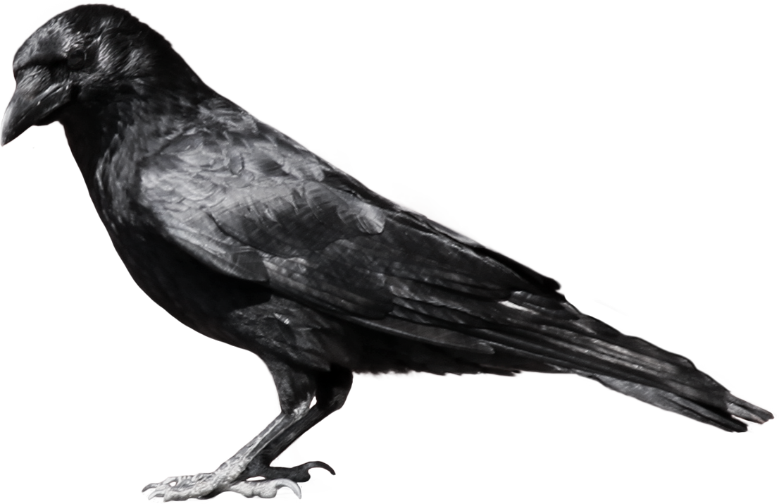 images of the crow.
