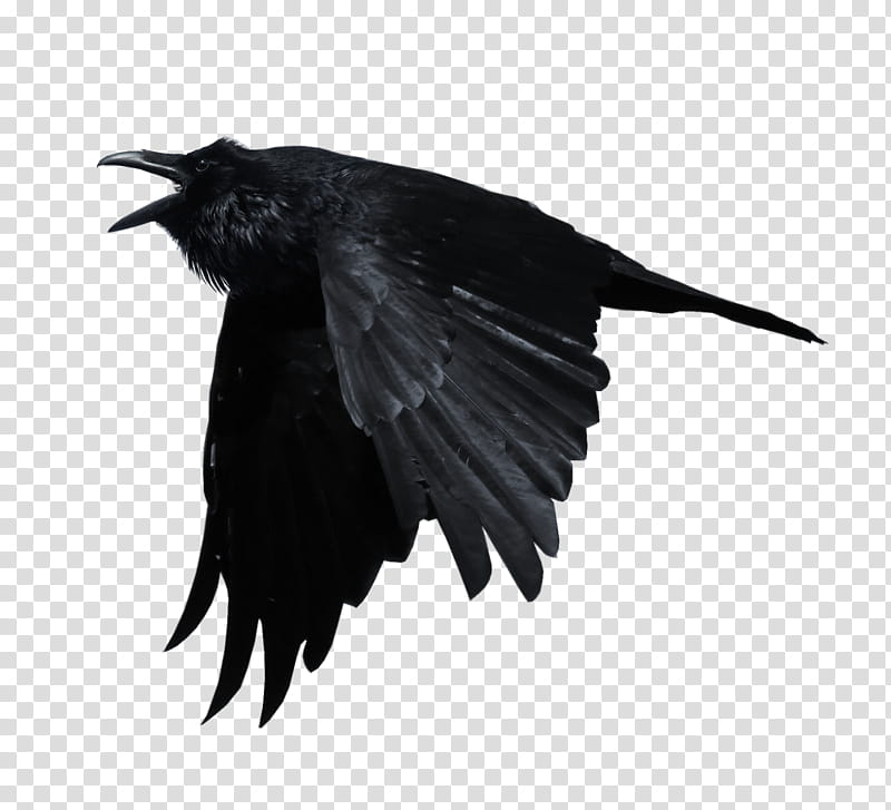 Crows, flying black crow transparent background PNG clipart.